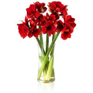 20-0027-amaryllis-rot-5-stehend-pb1