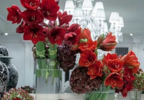 rote-amaryllis-blume-ideal