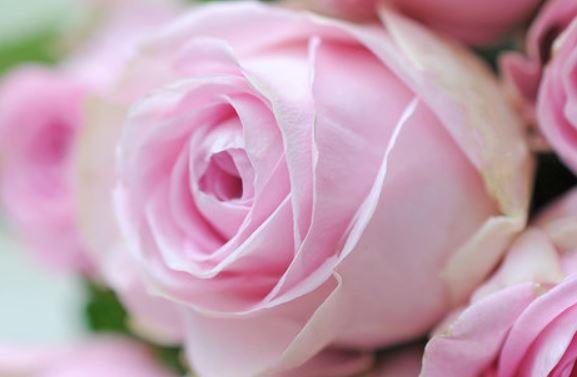 20 rosafarbene Rosen Blume2000 1