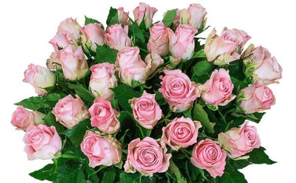 35 rosefarbene Rosen Teaser