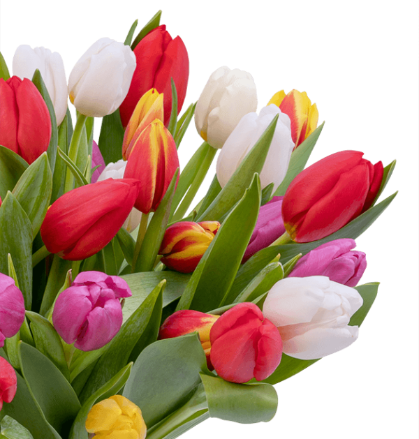 40 tulpen cu web