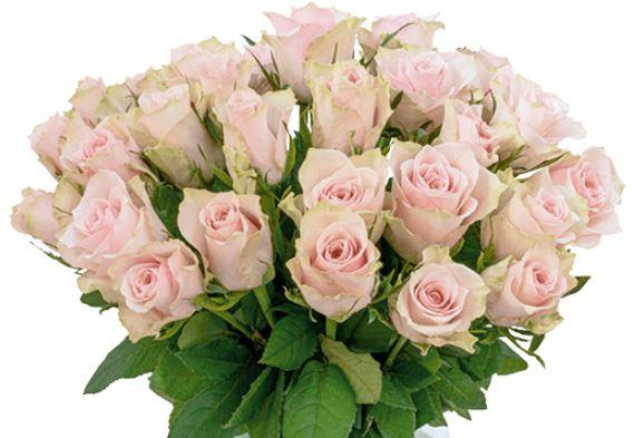35 creme rosa Rosen