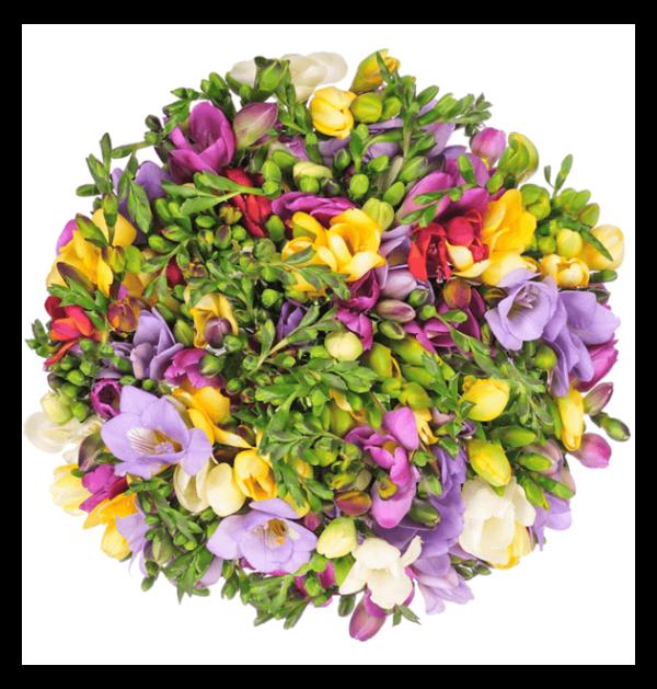 Blume Ideal 40 bunte Freesien