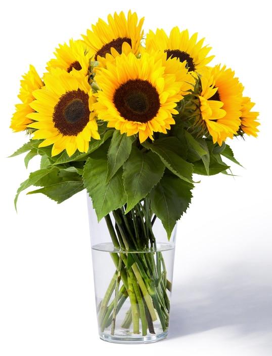 480 Sonnenblumen 10 Stiele