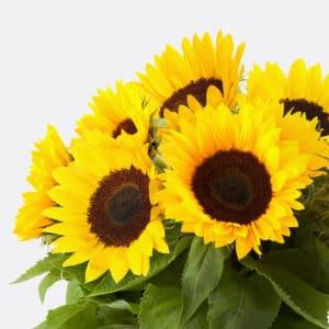 484 Sonnenblumen 10 Stiele
