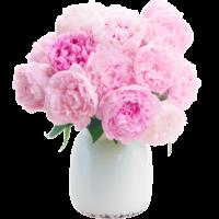 Pfingstrosen Blume Ideal