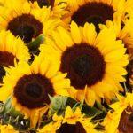 🌻 20 große Sonnenblumen im Strauß für 24,90€ (inkl. Versand) - oder 10 Stück für 19,90€