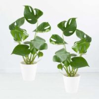monstera int 2er